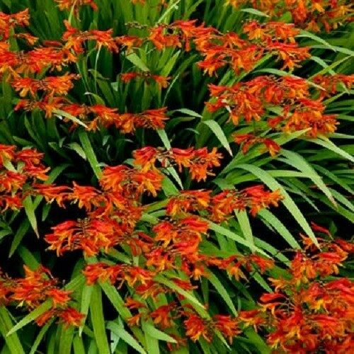 25+ FLAME ORANGE CROCOSMIA  FLOWER SEEDS  / PERENNIAL