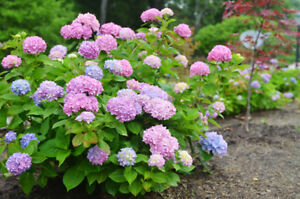 Image Is Loading Endless Summer Mophead Hydrangea Live Plant 3 Gallon