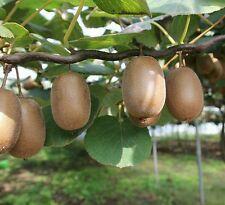 ☺100 graines de kiwi vert récolte corse 2016
