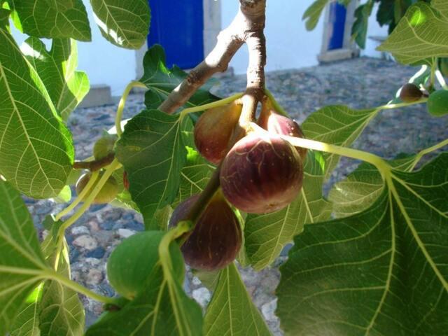 Bêbera Preta  fig PORTUGUESE- SPANISH border-3 x tree cuttings