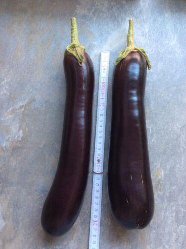 Bio 50 Aubergine Samen Solanum melongena Saatgut Pflanzen ertragreiche Sorte
