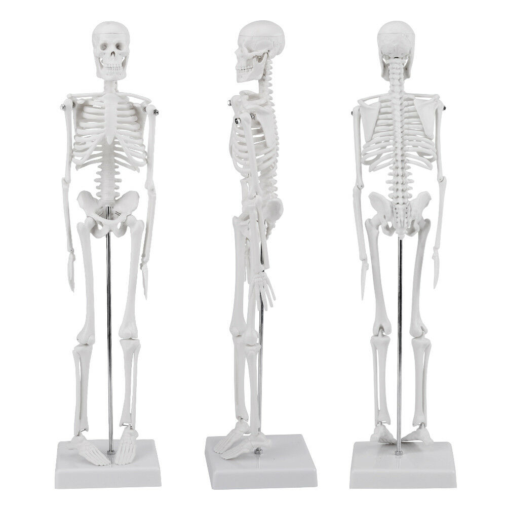 High Quality 45cm Life Size Medical Anatomical Human Skeleton Skull