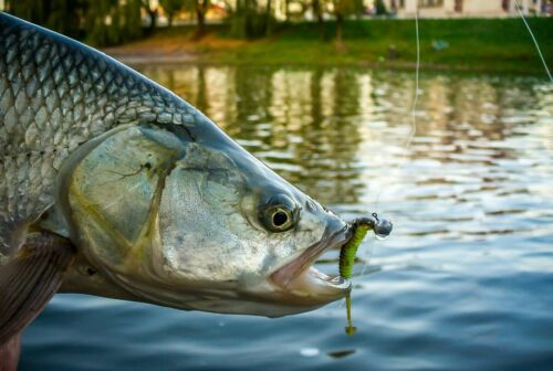 "DAIWA SKINNY KICK 2.5/"" Soft Jig Lure Scented Salty Aroma Finesse Rockfish #BLACK"