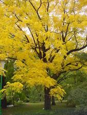 rare Black Walnut Tree JUGLANS NIGRA hardy fruit wildlife food Autumn colours