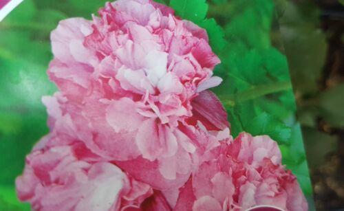 Hibiskus weiß rosa gefüllt  Blüten 10 Samen, winterhart Malve Garten Eibisch