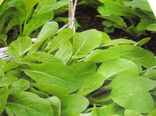 Saatgut,SamenGanjährig Ernten,Sämereien Rucola  Salat Raketenkraut Pronto P.36