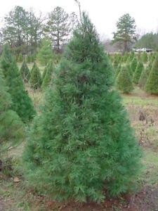eastern white pine tree evergreen live established 1 gallon ebay