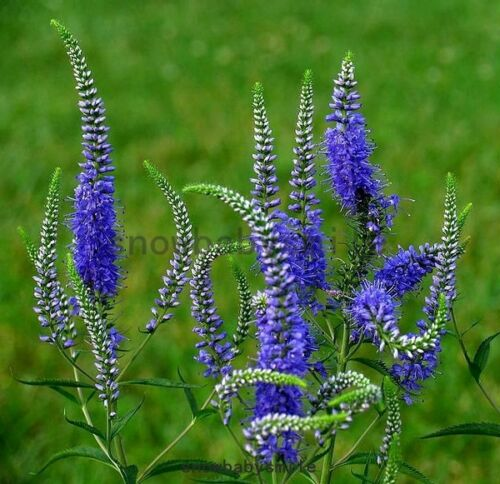 100grams 1400,000 Veronica Spicata Seeds Spiked speedwell Flower Herb wholesales