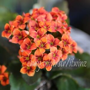Kalanchoe-Orange-Easy-Succulent-Cactus-rare-live-plant-rooted-Red-Purple-Indoor