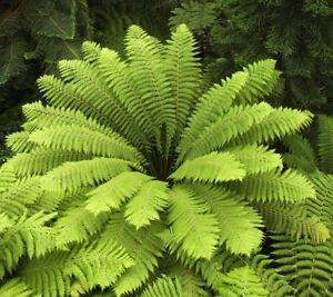 i-BAUMFARN-i-winterharte-frostharte-Gartenpflanze-Samen-Saatgut-Saemereien-Exot