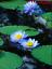 thumbnail 2 - Bonsai Lotus/water lily flower Bowl-Pond /5 Fresh seeds/Perfume Blue Lotus