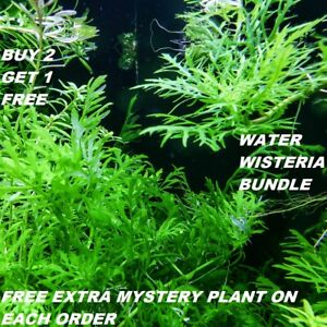 Hygrophila-Difformis-Bunch-Water-Wisteria-Live-Aquarium-Plants-BUY2GET1FREE