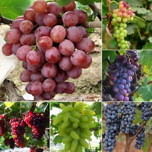 50PCS Fun Lots Mixed Grape Seeds Vitis Vinifera Fresh Fruit Bulk