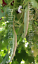 Snake Gourd Dusty White Pudalankaai Chinese Cucumber Padavalanga Potlakaaya