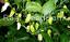 Bhut-Jolokia-Ghost-Chilli-Collection-Australian-Grown-former-World-Hottest