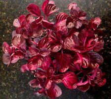 IRESINE HERBSTII 'CHICKEN GIZZARD','BLOOD LEAF' 4 PLANT COMBO + FREE SHIPPING