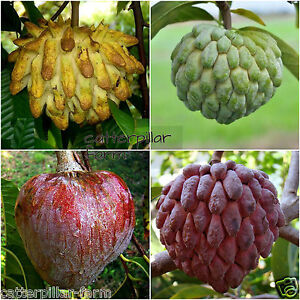 20 Pcs Mixed Sugar Apple Seeds,Bull Heart Sugar Apple, Delicious Sweet Fruits