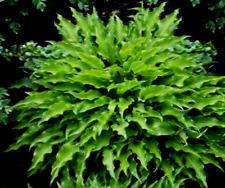 MINI Hosta * SPARTAN ARROW *  Very Spiky Dark Green Leaves!