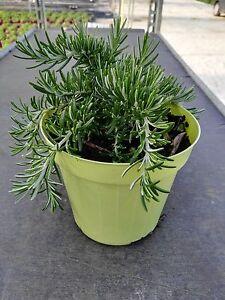 Pianta di rosmarino prostato vaso 14 piante aromatiche for Erbe aromatiche in vaso