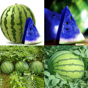 10er new variety blau wassermelone melone samen gem se hausgarten ebay. Black Bedroom Furniture Sets. Home Design Ideas