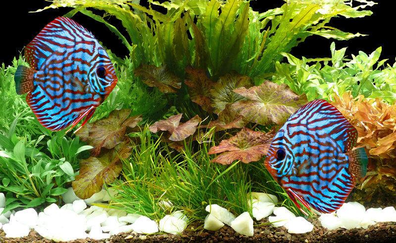 Aquarienpflanzen Bis 720L - Set  Diskus - Lotus  - 28°C