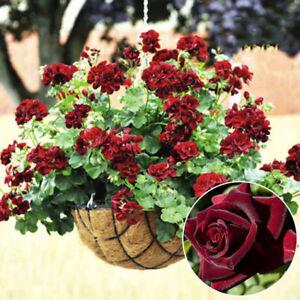 LC_ 20 Pcs Geranium Flowers Seeds Rose Pelargonium Plant Perennial Decoration Seeds & Bulbs