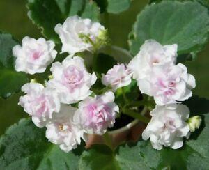 African-Violet-039-Kentucky-Gooseberries-039-Plant-in-Bloom