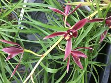 Cymbidium dayanum red Orchidee Naturform blühstark