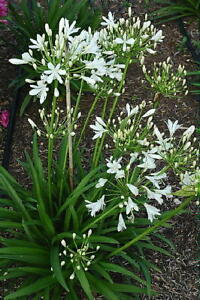 3 agapanthus snow pixie dwarf white flowers garden perennial plant image is loading 3 agapanthus snow pixie dwarf white flowers garden mightylinksfo