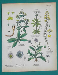 MEDICINAL-PLANTS-Scabiosa-Rose-Madder-Lady-039-s-Bedstraw-1845-H-C-COLOR-Print