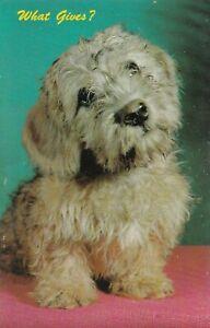 Vintage-Postcard-Dandie-Dinmont-Terrier-Dog-What-Gives-Unused
