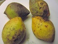 1 seedling Tropical Almond Tree Plant CAY BANG Terminalia Catappa