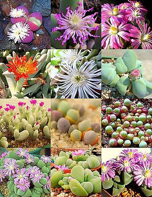 GIBBAEUM  MIX, succulent cactus mixed living stones rocks plant seed 50 SEEDS