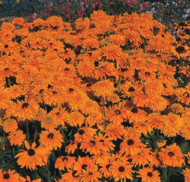 Flower - Rudbeckia - Goldilocks Improved - 200 Seeds