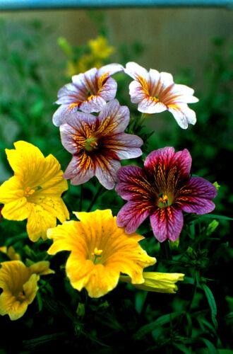 HH Annual Salpiglossis Bolero F2 Mix Approx 400 seeds