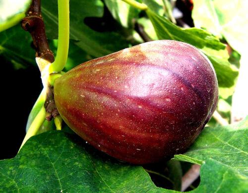"""Ficus carica bedingt winterhart lila FEIGE lila  /""""LUCY/""""  Riesen Zucker Feige"""