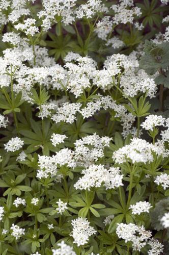 Pflanzen Samen winterhart frosthart Garten Exoten Sämereien Kräuter WALDMEISTER