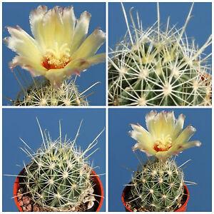 echinus SEEDS SEMI cactus piante korn semillas 10 Agave stricta var