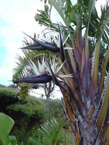 Strelitzia Nicolai 8 Seeds Seeds Bird Of Paradise White Bird