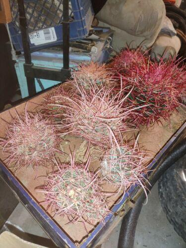 Medium Red Barrel Cactus