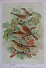 1905 BIGIARELLA Uccelli Naumann Ornitologia Ornithology Silvidi