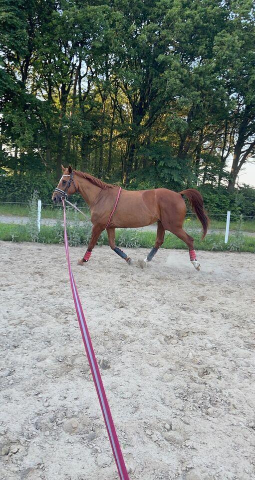 Dansk Varmblod, hoppe, 14 år