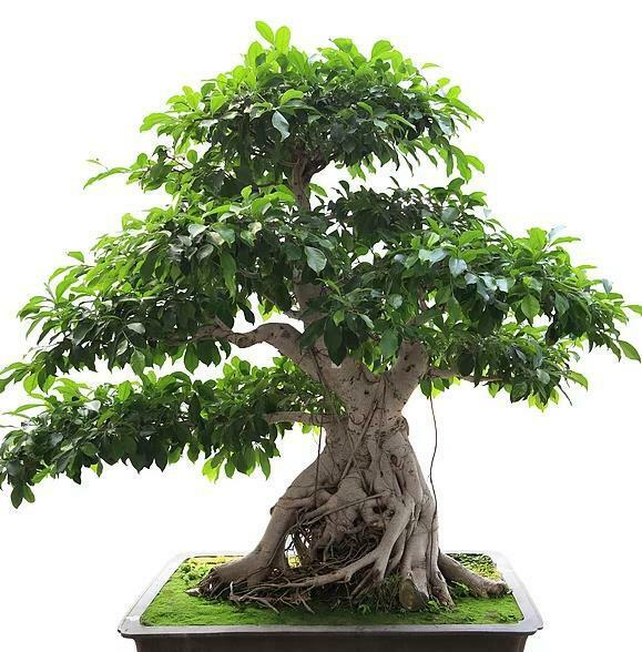 Ficus Benghalensis 100 Seeds Tree Banyan Bengal Fig East India Fig Bonsai For Sale Online Ebay