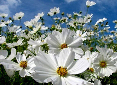 White Cosmos Seeds, Purity, Heirloom Cosmos, Bulk Seeds, Draws Butterflies 400ct