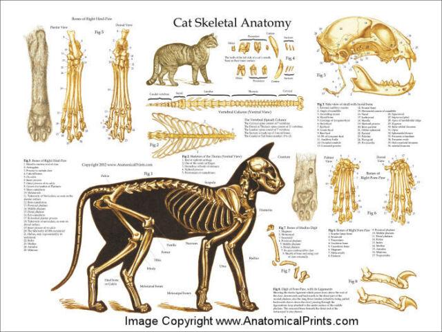 Feline Skeletal Anatomy Wall Chart Poster House Cat 1st Edition Ebay