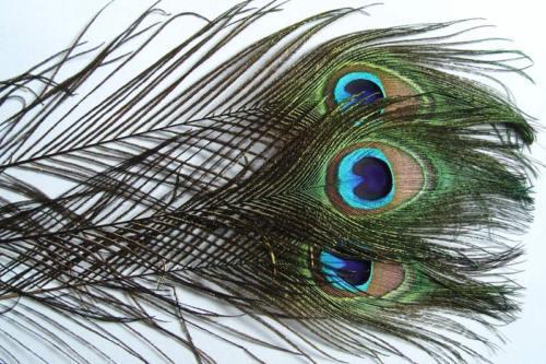 3 x Oeil de PAON montage mouche fly tying peacock pavo Pfau herl truite naturel