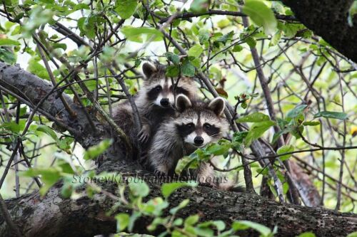Woodland Raccoons ~ Nature Animals ~ Counted Cross Stitch Pattern