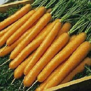 5-000-Carrot-Seeds-Tendersweet-Tender-sweet-Carrots