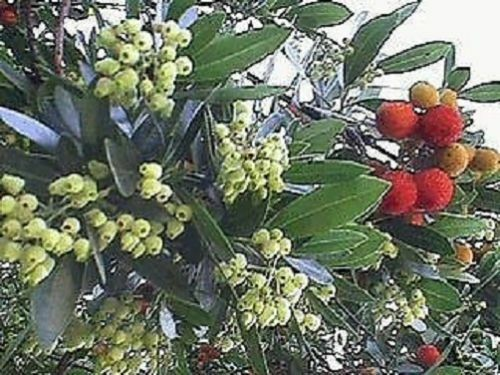 immergrüner pflegeleichter Baum als Bonsai oder Solitär Stecklinge Erdbeerbaum