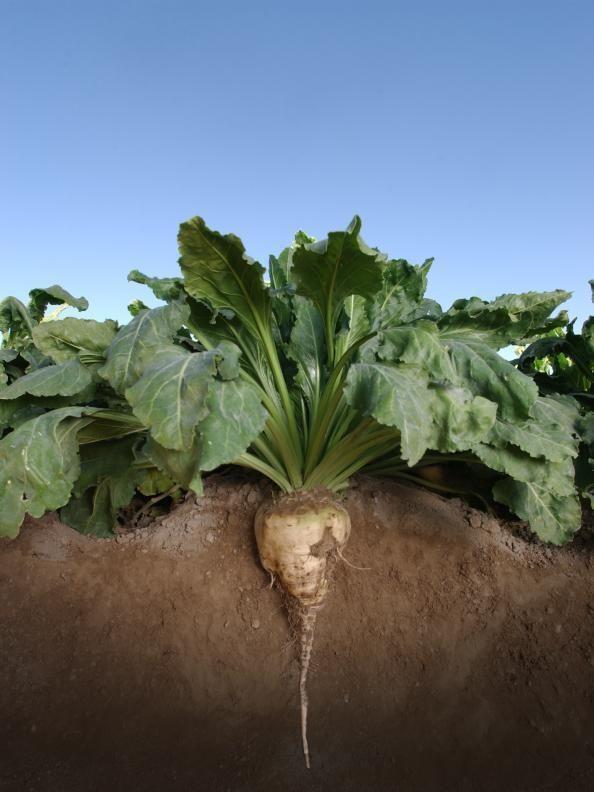 Sugar Rüben Lebensmittel Plot Samen 4.5kg kg - 100,000 (Sehr Gute Reh Plot)  | Speichern